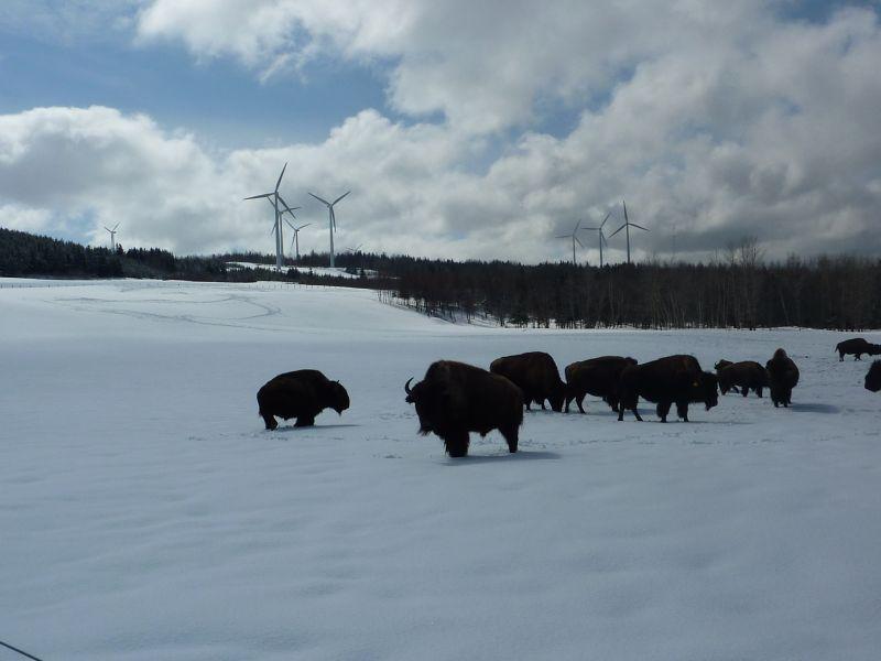 bisons1.jpg