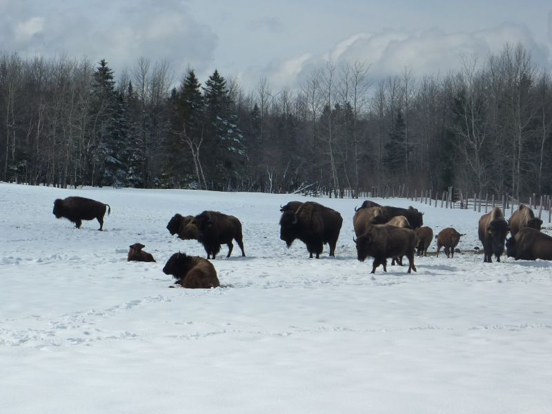 bisons2.jpg