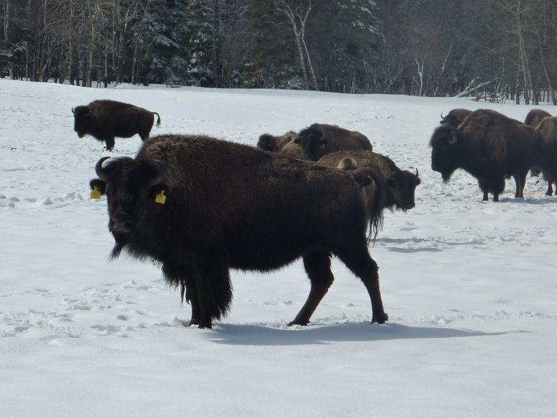 bisons3.jpg